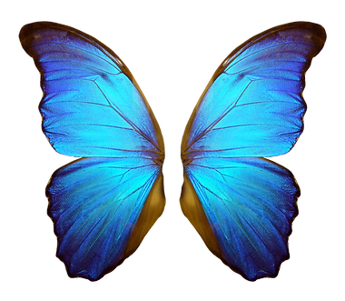 Wings of a butterfly Morpho. Morpho butterfly wings isolated on a white background_edited.