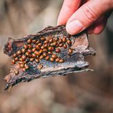 Ladybug migration
