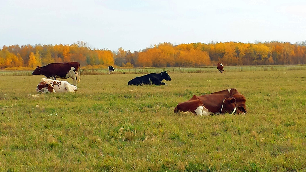 The girls of Kara-Kesh Holsteins relaxing a fall afternoon