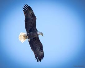 Eagle Over Pond