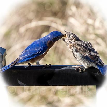 Bluebird feeding time