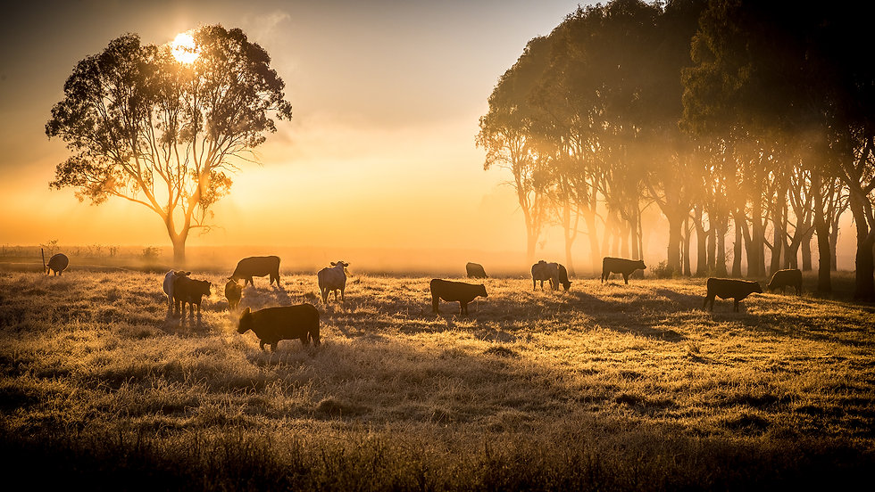 cattle-in-the-morning-xs.jpg