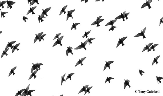 Everyday inspiration - starlings