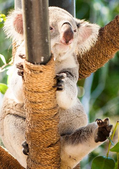 Koala Morning