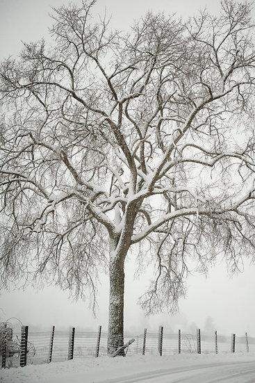 Martin Tree