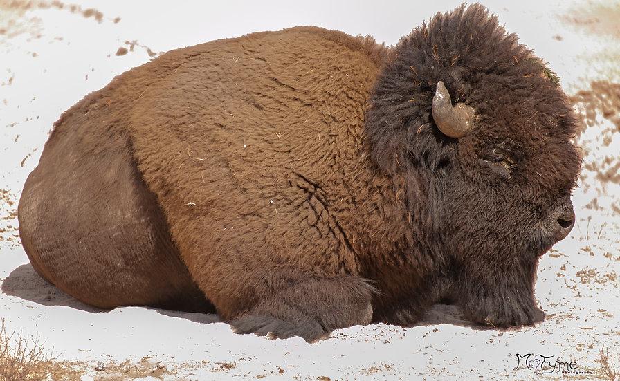 Sulfur Springs Buffalo