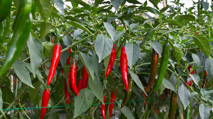 The hottest 'new' health remedy that's been around forever: chili pepper