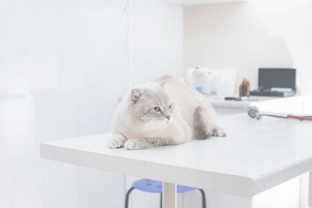 clinica-veterinaria-moderna-gato-purç.jp