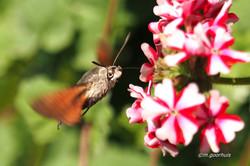 P6230294-1 kolibrievlinder