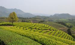 C.C.Fine Tea's tea garden