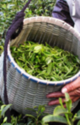 C.C.Fine Tea's Garden