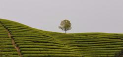 C.C.Fine Tea's tea garden 2