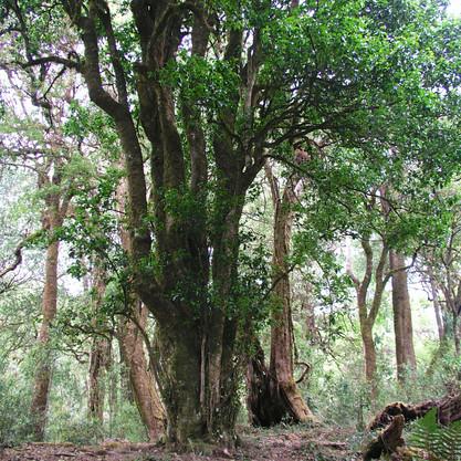 2,700-year-old tea tree