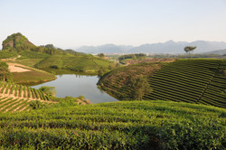 C.C.Fine Tea's tea garden 3