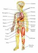 Vocabulario: Órganos internos del ser humano en español