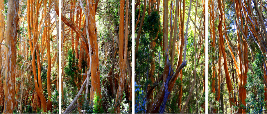 "DAY 81:  ""MYRTLE FOREST""  -  2015  Bariloche, Argentina"