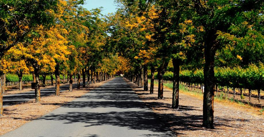 "DAY 152:  ""OLIVE TREES""  -  2013  Napa Valley, USA"