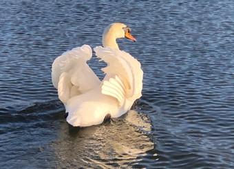 swan.jfif