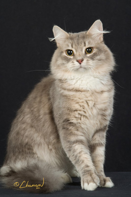 Blue Mackerel Tabby + White