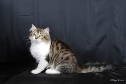 Brown Mackerel Tabby + White