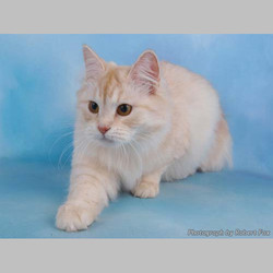 Red Silver Tabby