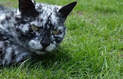 cover-r4x3w1000-57e15807063d4-insolite-ce-chat-est-atteint-de-vitiligo.jpg