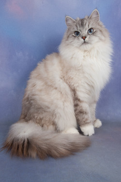 Seal Silver Tabby Point + White