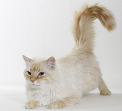 Red Tabby Point