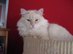 Red Silver Tabby Point