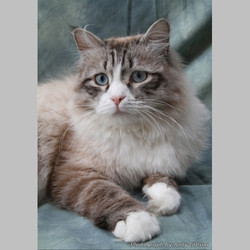 Seal Tabby Point + White