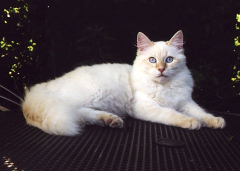 Red Tabby Point White