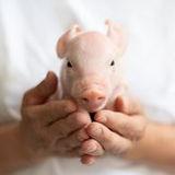 Cochon dans main.JPG