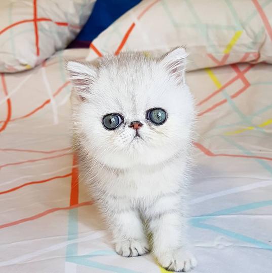 Exotic Kitten from Spain.jpg