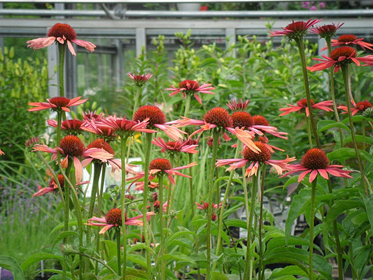 Fun Varieties Of Coneflower