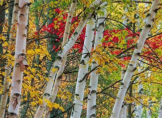 Birches800_edited.jpg