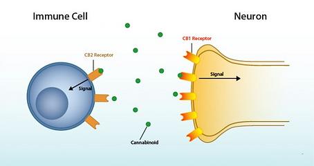 CBD receptors explained.png