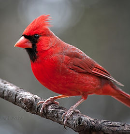 Cardinal image.jpg