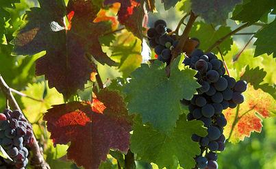 Cours Anglais Vigne et Vin  I Vin de Loire I Succeed in English