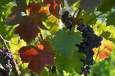 Feuilles de vignes et grappe de raisin arrivée à maturité.