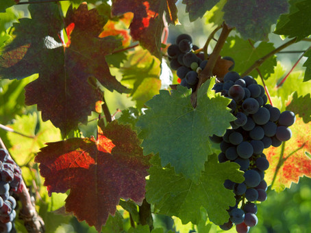 Different Varieties of Wine Grapes Found in Michigan