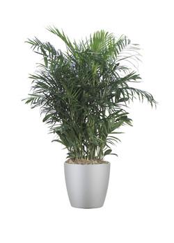 Palm Elagatisma