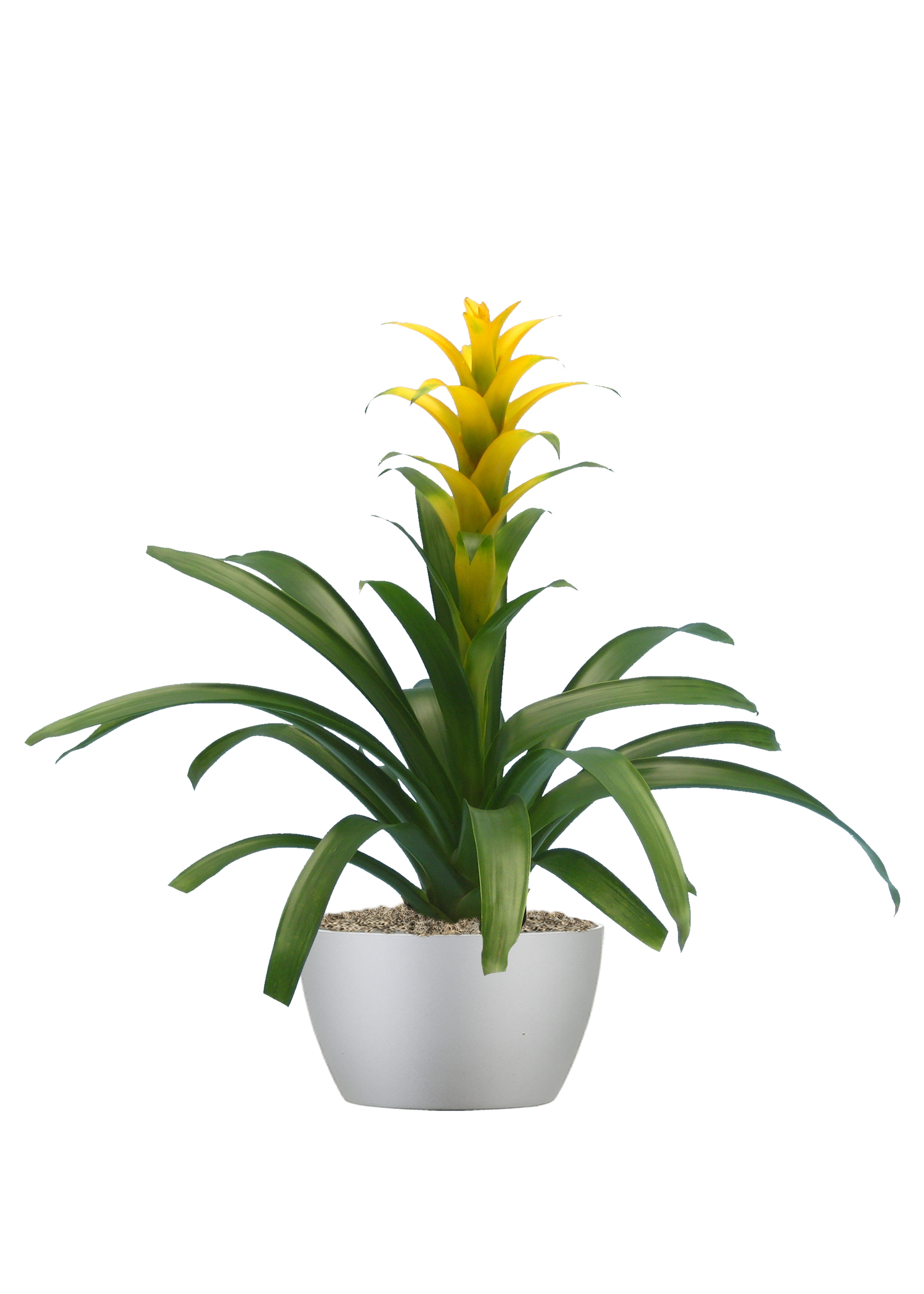 Bromeliad  Yellow