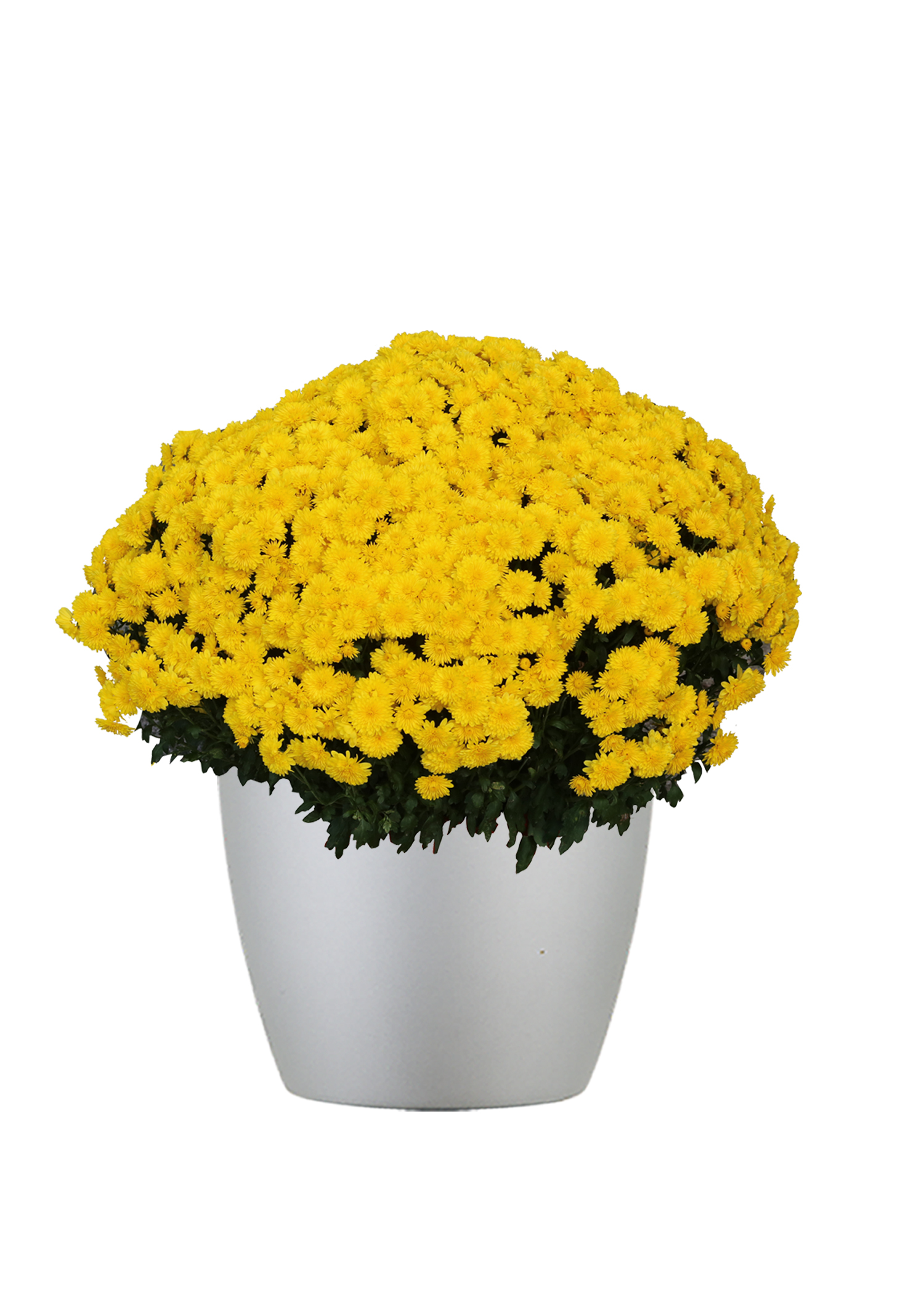 Chrysanthemum Outdoor Gold