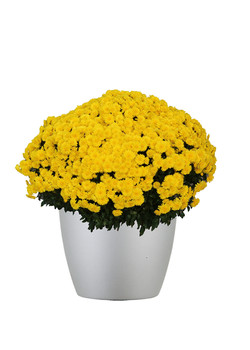 Chrysanthemum Outdoor Gold