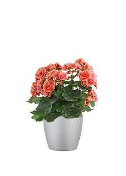 Begonia Reiger Orange