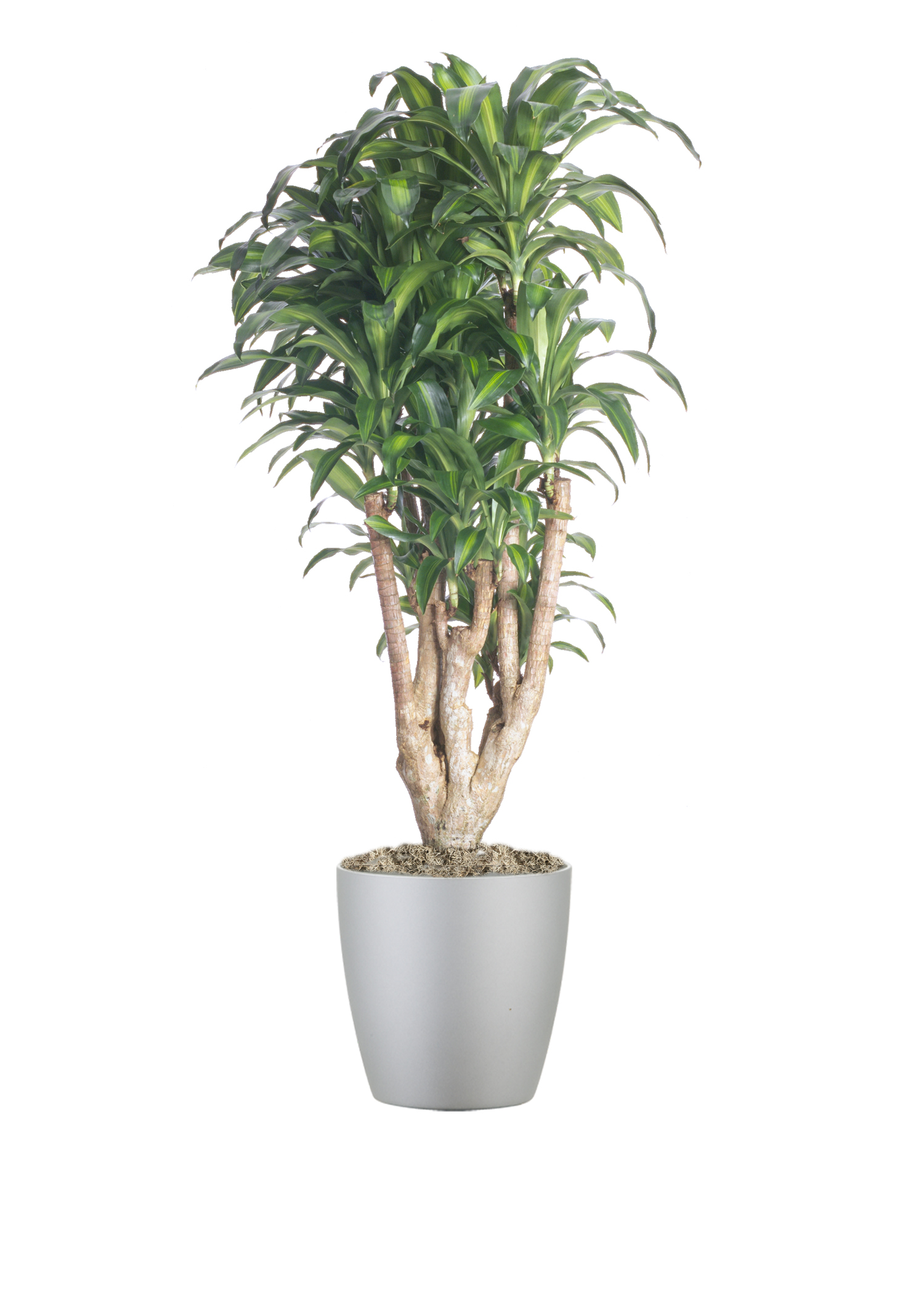Dracaena Massangeana Stump1