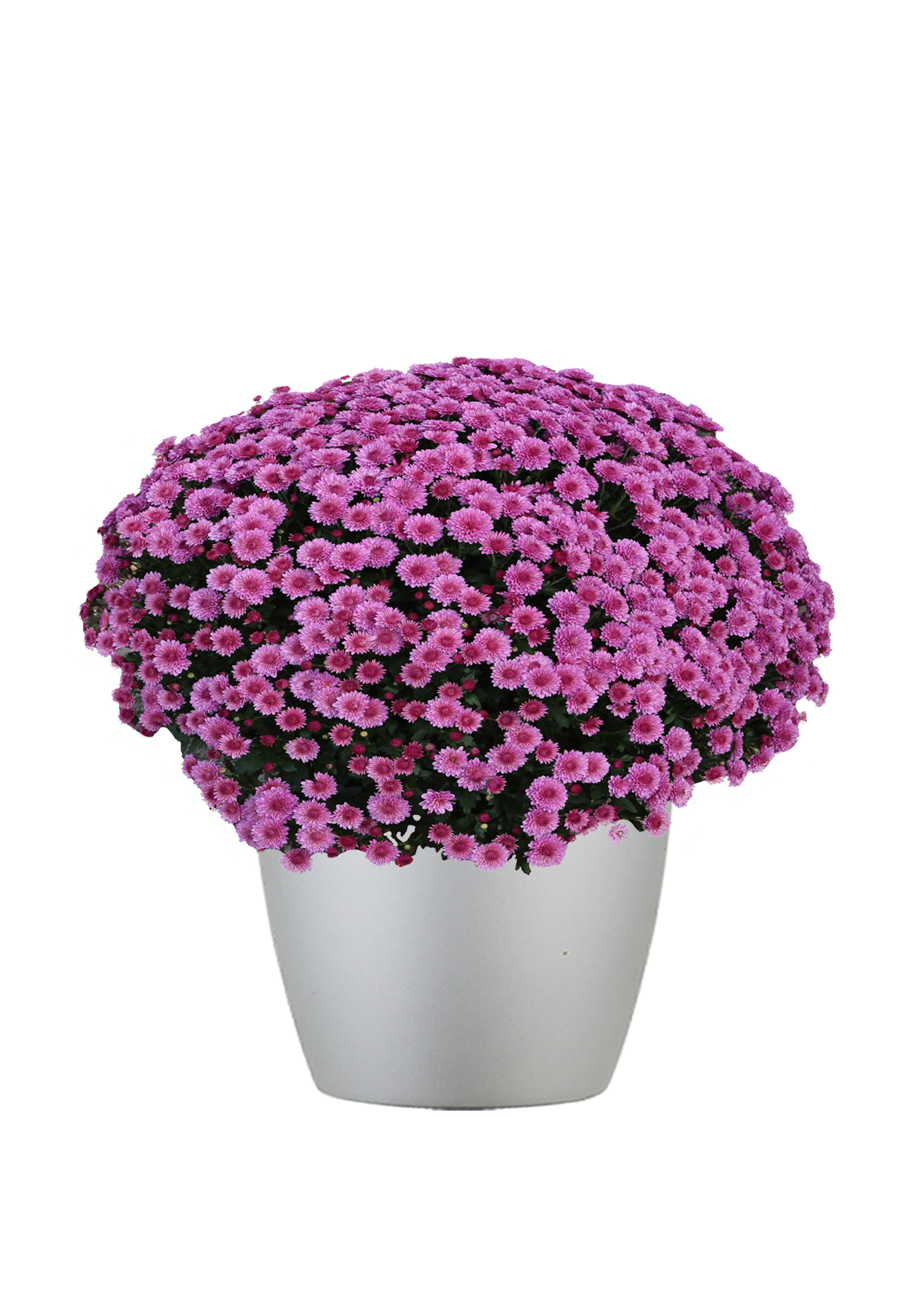 Chrysanthemum Outdoor