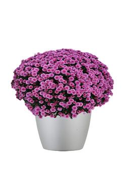 Chrysanthemum Outdoor