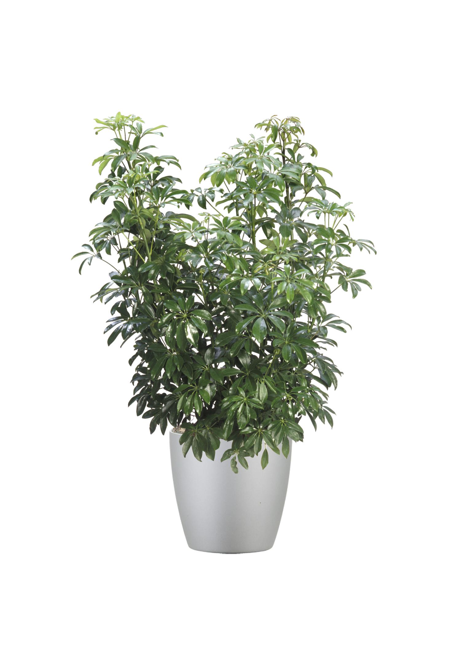 Schefflera Arboricola Green