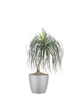 Palm Pony Tail Palm